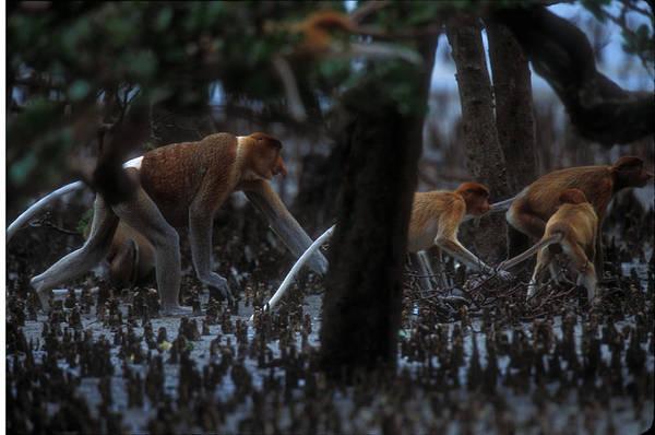 Nasalis Photograph - Proboscis Monkeys Travel Over Mangrove by Tim Laman