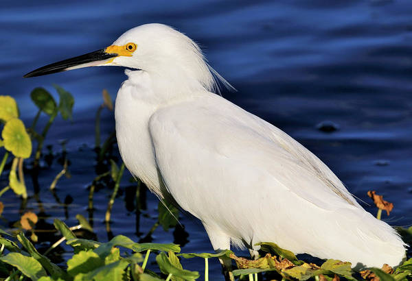 Profile Of A Snowy Egret Art Print