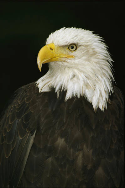 Gulf Of Alaska Photograph - Profile Of An American Bald Eagle by Anne Keiser