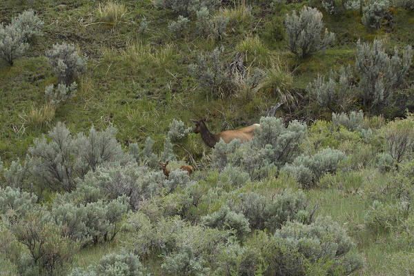Photograph - Pronghorn Mom by Jack R Perry