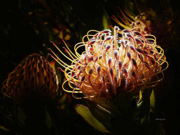 Photograph - Protea Flower 10 by Xueling Zou