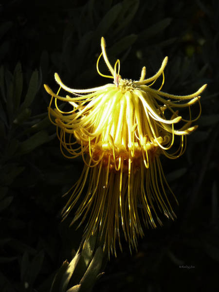 Photograph - Protea Flower 9 - Octopus by Xueling Zou
