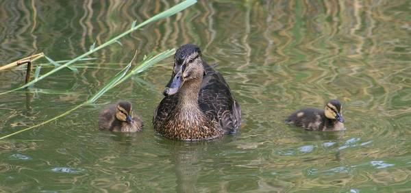 Wall Art - Photograph - Proud Mom Duck by Valia Bradshaw