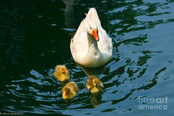 Mother Goose Photograph - Proud Mother  by Mitch Shindelbower