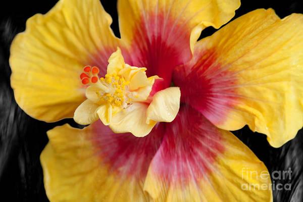 Photograph - Pua Aloalo Kahaulani Lahilahi Tropical Hibiscus Hawaii by Sharon Mau