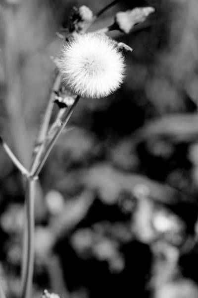 Dandelion Puff Photograph - Puff Ball In Black And White by M K Miller