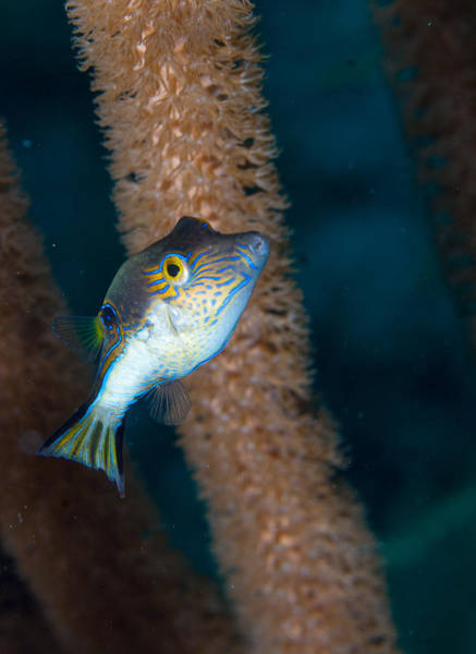 Balloonfish Photograph - Puffer Profile by Jean Noren