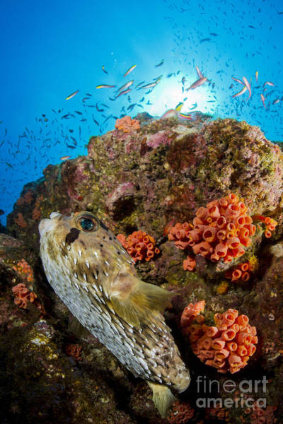 Balloonfish Photograph - Pufferfish And Reef, La Paz Mexico by Todd Winner