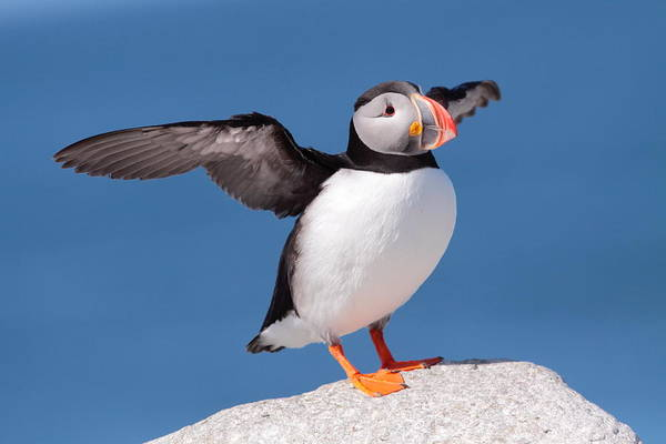 Wall Art - Photograph - Puffin Stretch  by Bruce J Robinson