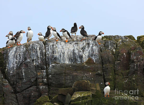 Wall Art - Photograph - Puffins On A Cliff Edge by Louise Heusinkveld