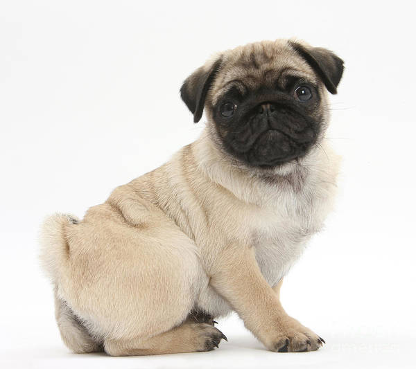 Photograph - Pug Puppy by Mark Taylor