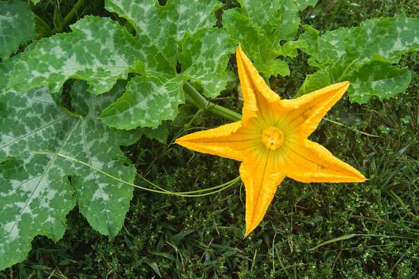 Cucurbitaceae Photograph - Pumpkin Flower 2 by Douglas Barnett