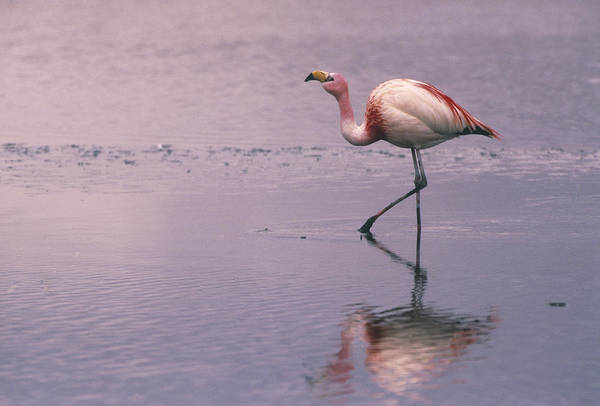 Alkaline Earth Photograph - Puna Flamingo Phoenicopterus Jamesi by Pete Oxford