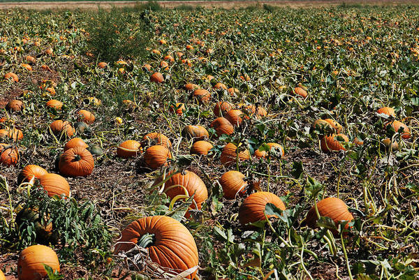 Photograph - Pun'kin Patch by Melany Sarafis