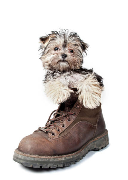 Puppy Photograph - Puppy In A Boot by Chad Latta