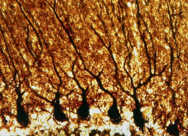 Cajal Wall Art - Photograph - Purkinje Nerve Cells by Pasieka
