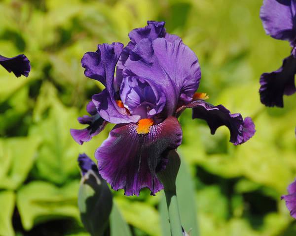 Photograph - Purple And Orange Iris Flower by Jai Johnson