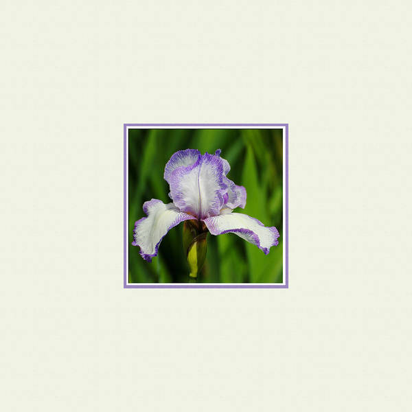 Photograph - Purple And White Iris Photo Square by Jai Johnson