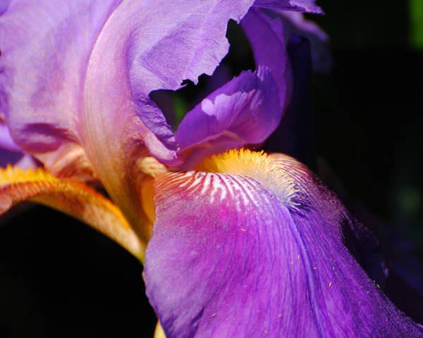 Photograph - Purple And Yellow Iris Close Up II by Jai Johnson