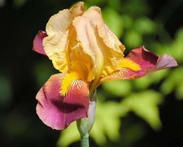 Photograph - Purple And Yellow Iris II by Jai Johnson