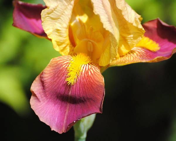 Photograph - Purple And Yellow Iris IIi by Jai Johnson