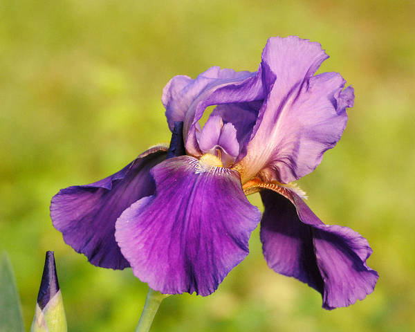 Photograph - Purple And Yellow Iris by Jai Johnson