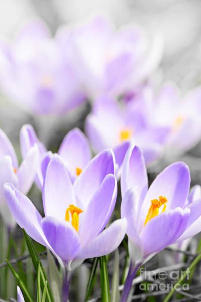 Crocus Wall Art - Photograph - Purple Crocus Blossoms by Elena Elisseeva
