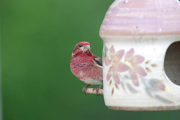 Purple Finch At Feeder Art Print