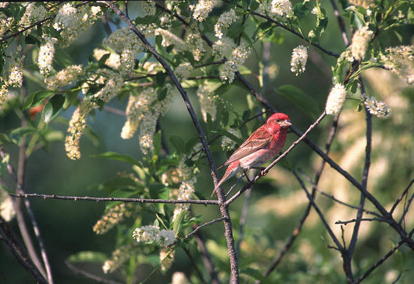 Purple Finch Art Print