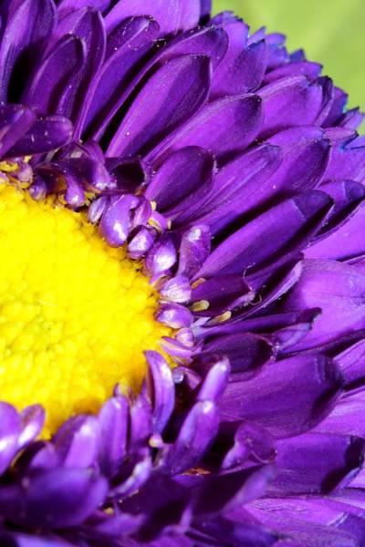 Christy Photograph - Purple Flower Sunshine Center by Christy Patino