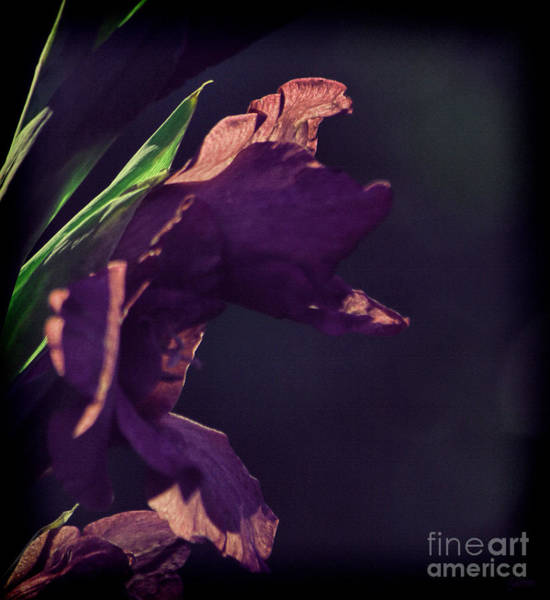 Photograph - Purple Gladiolus by Jeff Breiman
