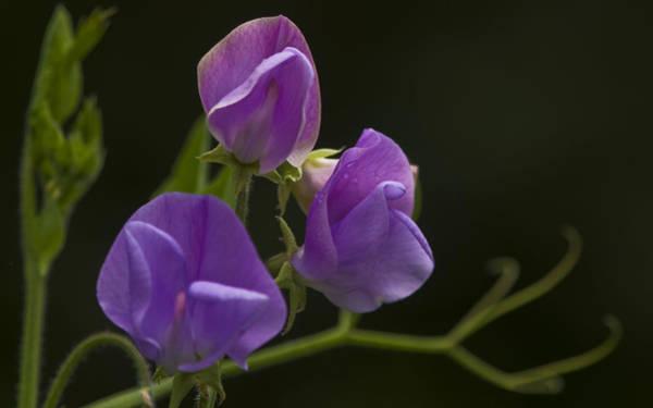 Photograph - Purple Heaven by Rob Hemphill