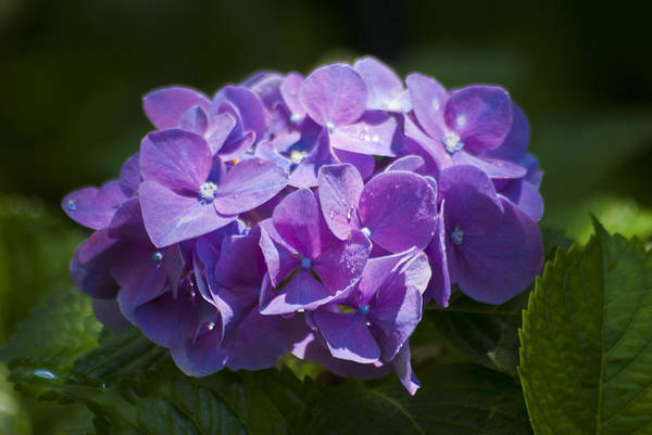Photograph - Purple Hydrangea by Jason Pryor