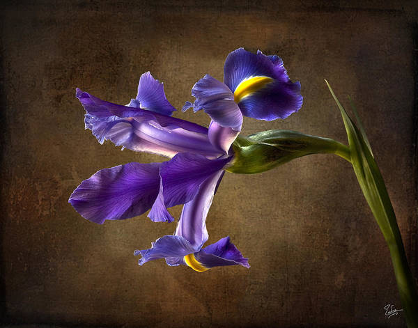 Photograph - Purple Iris With Background by Endre Balogh
