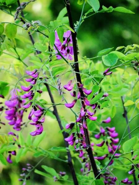 Photograph - Purple Locust One by Beth Akerman