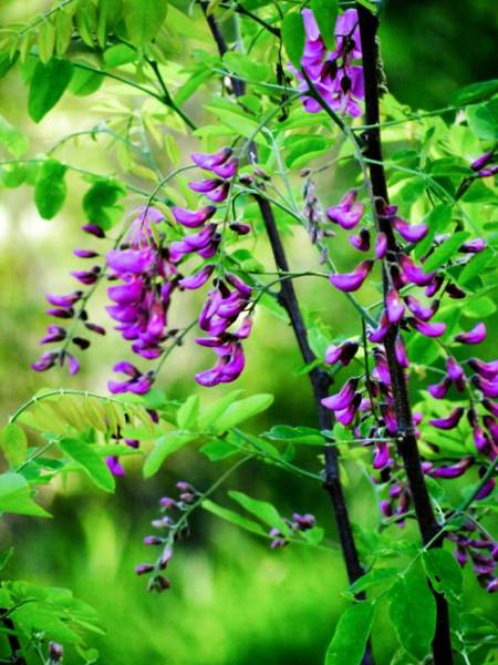 Photograph - Purple Locust Two by Beth Akerman