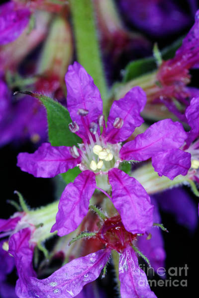Lythrum Photograph - Purple Loosestrife by Ted Kinsman