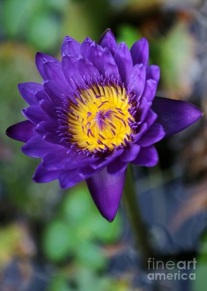 Photograph - Purple N Yellow Water Lily by Sabrina L Ryan