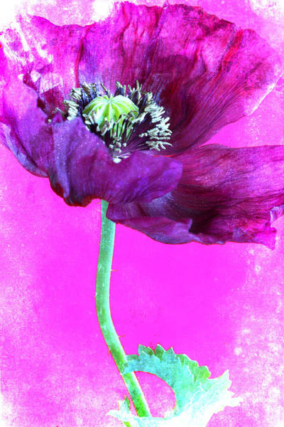 Wall Art - Photograph - Purple Poppy On Pink by Carol Leigh