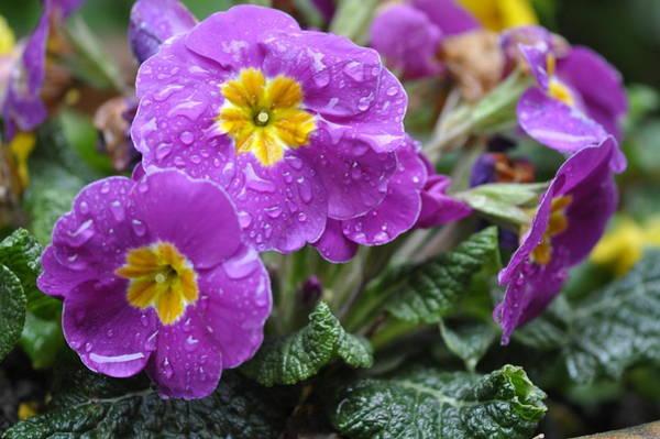 Photograph - Purple Rain by Rob Hemphill