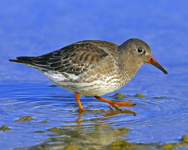 Photograph - Purple Sandpiper by Tony Beck