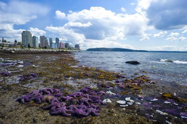 Metro Vancouver Wall Art - Photograph - Purple Starfish On A Beach, Canada by David Nunuk
