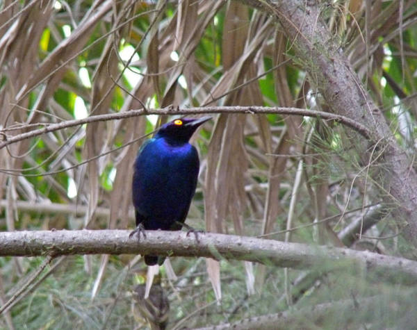 Photograph - Purple Starling by Tony Murtagh