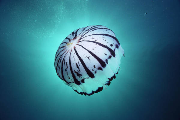 Photograph - Purple-striped Jellyfish Chrysaora by Mark Spencer