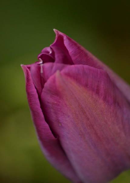 Photograph - Purple Tulip by JD Grimes