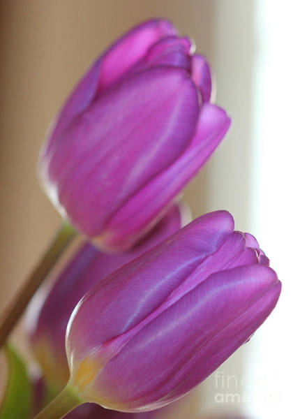 Photograph - Purple Tulips 2 by Donna L Munro