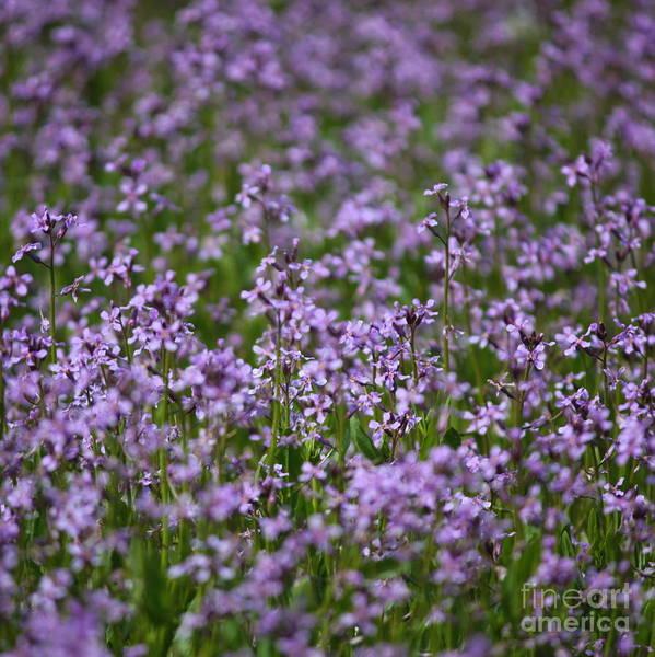 Photograph - Purple Wildflowers Square by Carol Groenen