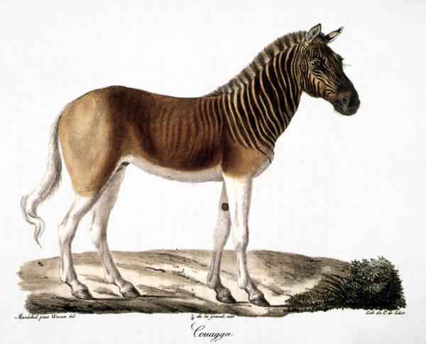 Photograph - Quagga (equus Quagga) by Granger
