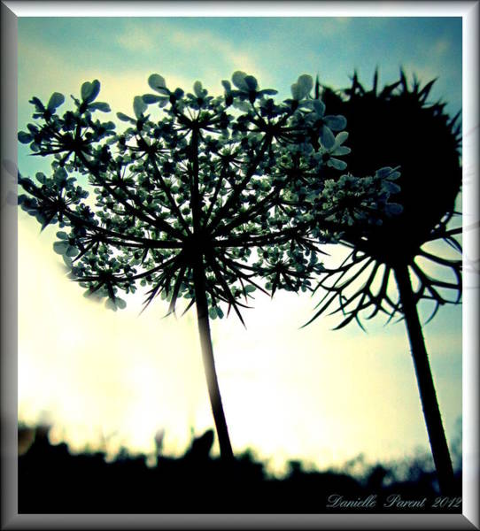 Photograph - Queen Ann Lace In The Sky by Danielle  Parent