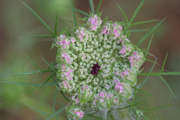Photograph - Queen Anne's Lace Flower Partly Open With Dew by Daniel Reed